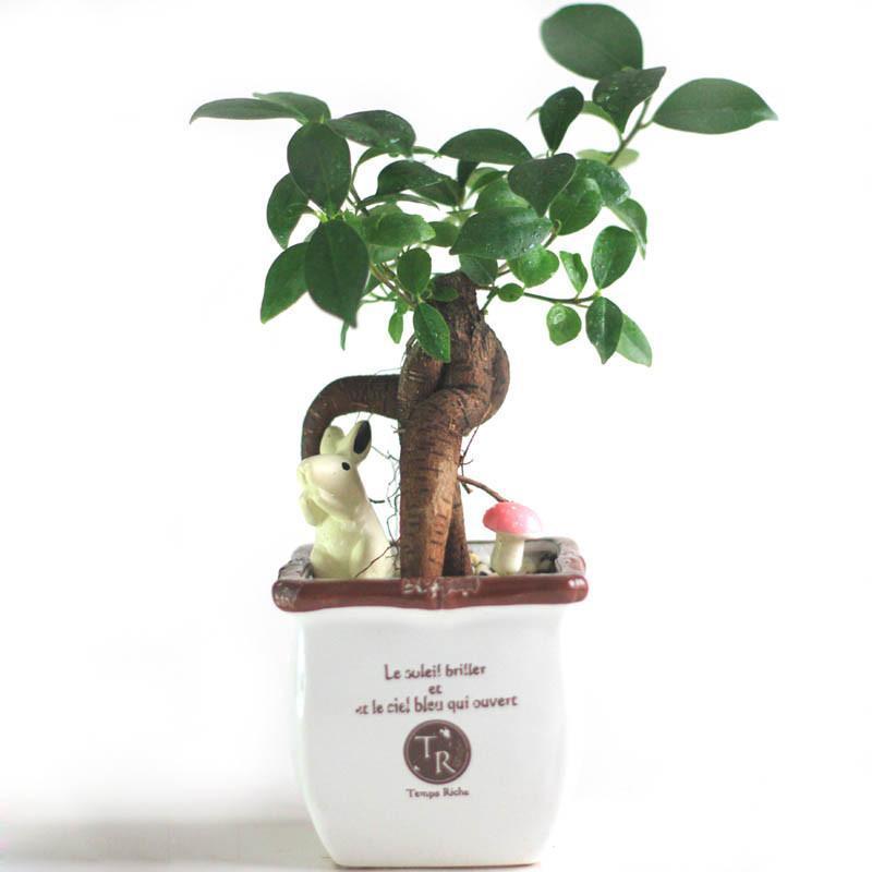 包邮 盆景植物人参榕 榕树瓜 地瓜榕 桌面绿植盆栽 含