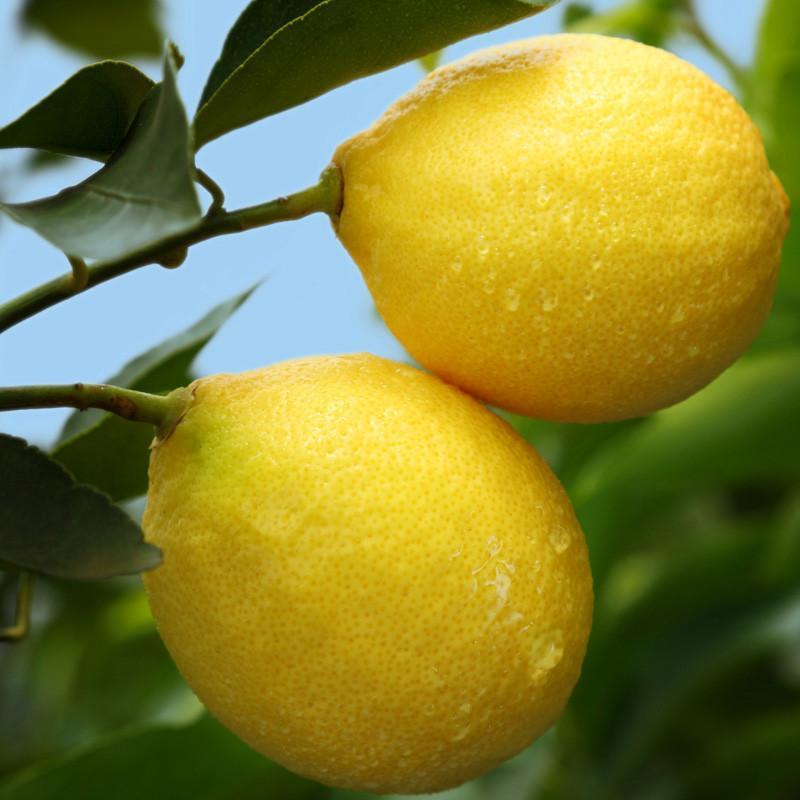 鲜柠檬片_