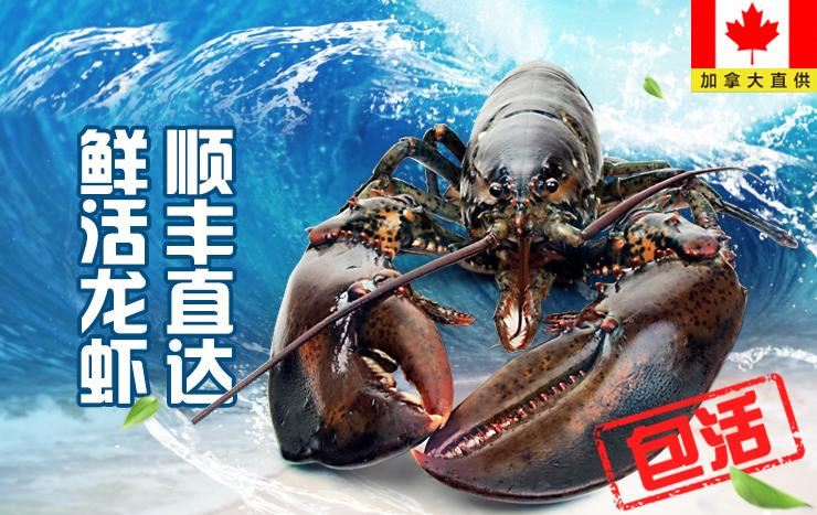 鲜活大龙虾,加拿大直供,纯净无污染
