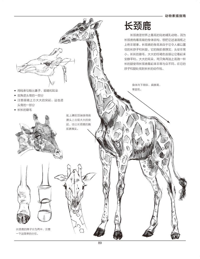 动物素描作品,教授大家通过理解动作形态,结构,解剖的原则画出立体