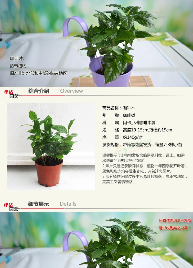 绿植咖啡木 咖啡树盆栽 四季常绿 咖啡豆树苗 翠绿养眼净化空气